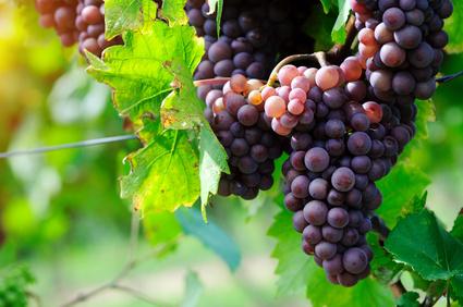 Vin Biologique ou Vin Bio